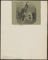 Grypus aquila - 1700-1880 - Print - Iconographia Zoologica - Special Collections University of Amsterdam - UBA01 IZ19100013.tif