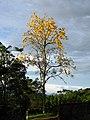 Guayacán amarillo (Tabebuia chrysantha) (14278669394).jpg
