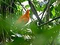 Guianan Cock-of-the-rock (Rupicola rupicola) (25399804128).jpg
