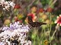 Gulf Fritillary sipping nectar (9606645825).jpg