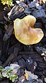 Gymnopilus sapineus 58778645.jpg