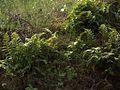 H20130318-7092—Polypodium glycyrrhiza—RPBG (8590713271).jpg