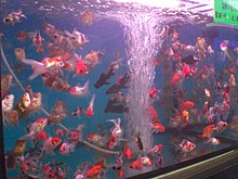 HK Aquarium Plaza Quarry Bay Goldfish b.JPG