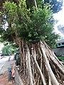 HK CWB 大坑 Tai Hang 銅鑼灣道 Tung Lo Wan Road Chinese Recreation Club Chinese Banyan tree trunk October 2019 SS2 25.jpg