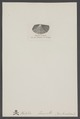 Halobia - Print - Iconographia Zoologica - Special Collections University of Amsterdam - UBAINV0274 005 07 0026.tif