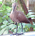 Hammerkop Scopus umbretta Front 1800px.jpg