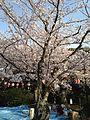 Hanami in Nishi Park 3.jpg