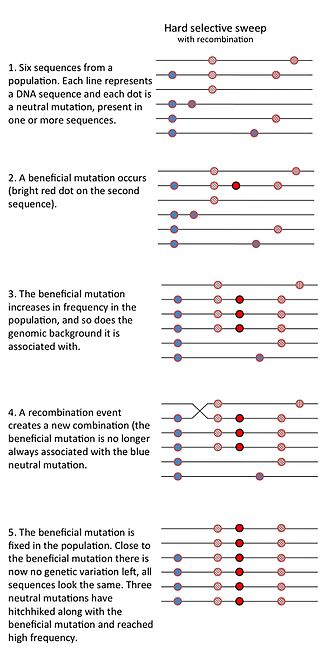 Selective sweep - This is a cartoon drawing of a hard selective sweep. It shows the different steps (a beneficial mutation occurs, increases in frequency and fixes in a population) and the effect on nearby genetic variation.