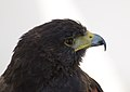 Harris's Hawk (Captive) (36432539164).jpg