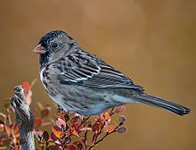 Harris's Sparrow (14u0779 std) (cropped).jpg