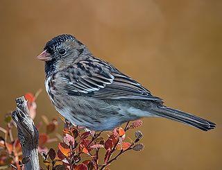 Harriss sparrow Species of bird