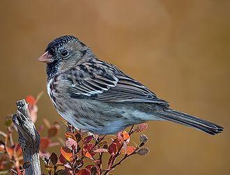 Harris's sparrow - Image: Harris's Sparrow (14u 0779 std) (cropped)
