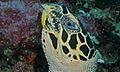 Hawksbill Turtle (Eretmochelys imbricata) (8478788258).jpg