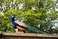 Heaton Park 2016 047 - Peacock.jpg