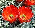 Hedgehog Cactus Flowers, JTNP 4-13-13b (8689108233).jpg