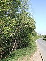 Hedgerow and lane, Brogborough - geograph.org.uk - 421809.jpg