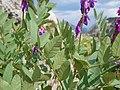 Hedysarum occidentale (29096388752).jpg