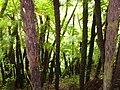 Helechos gigantes - panoramio.jpg