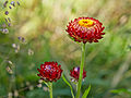 Helichrysum bracteatum-IMG 8571.jpg