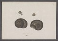 Helix nitens - - Print - Iconographia Zoologica - Special Collections University of Amsterdam - UBAINV0274 089 01 0040.tif