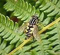 Helophilus pendulus female (40045474632).jpg
