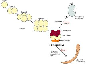 Hemichordate - Schematic of embryonic cleavage and development in P.flava and S.kowalevskii