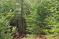 Hemlock Forest (3) (33001953025).jpg