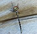 Heptageniidae33.JPG