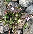 Herb Robert (Geranium robertianum) - geograph.org.uk - 224016.jpg