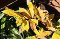 Herbstlaub der Edelkastanie (Castanea sativa) (8153663915).jpg