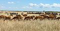 Herds Maasai Mara.JPG