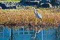 Heron in the ponds at Edinburgh Park (13152636414).jpg