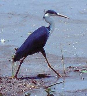 Legune (Joseph Bonaparte Bay) Important Bird Area - The IBA is important for pied herons