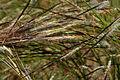 Heteropogon contortus W IMG 3500.jpg