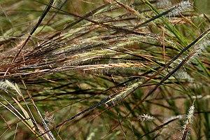 Heteropogon contortus - Image: Heteropogon contortus W IMG 3500