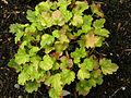 Heuchera 'Coral Bouquet' Hybrid 1600px.jpg