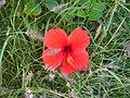Hibiscus-rosa-sinensis-20080405.JPG