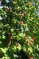 Hibiscus clayi kz5.jpg