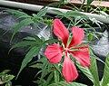Hibiscus coccineus 05.jpg
