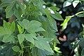 Hibiscus sabdariffa L. MG 8259 04.jpg