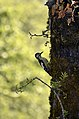 Himalayan woodpecker (Dendrocopos himalayensis) male JEG2037.jpg