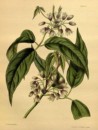 Holboellia - Image: Holboellia latifolia Paxton 045