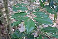 Holly foliage in Perry County, PA.jpg