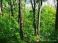 Holodny Yar forest 11.jpg