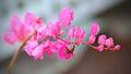 Honey bee (10555025375).jpg
