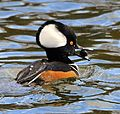 Hooded Merganser with Snail - Flickr - Andrea Westmoreland.jpg