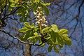 Horse chestnut, Glynn - geograph.org.uk - 402948.jpg