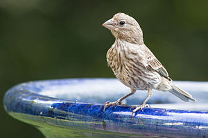 House finch - Adult male