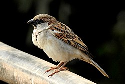 House Sparrow Passer domesticus Male by Dr. Raju Kasambe DSCN0393 (11).jpg