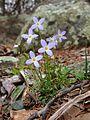 Houstonia caerulea - Azure Bluet.jpg